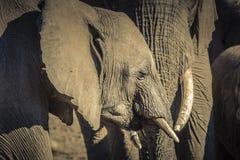 Les éléphants africains se tiennent ensemble dans un groupe de famille Images stock
