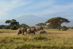 Les éléphants de Kilimanjaro Photos stock