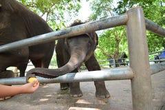 Les éléphants de la Thaïlande mangent et alimentant dans la forêt Photographie stock