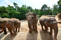 Les éléphants de la Thaïlande mangent et alimentant dans la forêt Images libres de droits