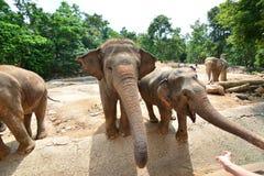 Les éléphants de la Thaïlande mangent et alimentant dans la forêt Images stock