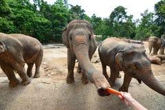 Les éléphants de la Thaïlande mangent et alimentant dans la forêt Photographie stock libre de droits