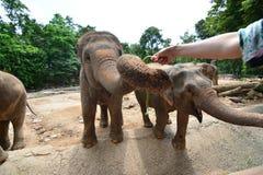 Les éléphants de la Thaïlande mangent et alimentant dans la forêt Photos libres de droits