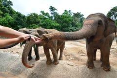 Les éléphants de la Thaïlande mangent et alimentant dans la forêt Image stock