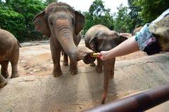 Les éléphants de la Thaïlande mangent et alimentant dans la forêt Photo stock