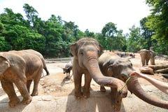 Les éléphants de la Thaïlande mangent et alimentant dans la forêt Photos stock