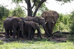 Les éléphants enfantent et les éléphants de bébé photos stock
