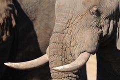Les éléphants font face (l'africana de Loxodonta) Photo stock