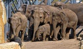 Les éléphants ont commencé à se déplacer à partir de la barrière Image stock