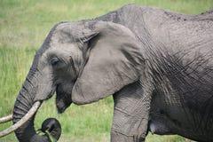 Les éléphants se ferment vers le haut de manger l'herbe Photo libre de droits