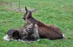 Les élans effrayent avec des repos de veau dans l'herbe Image libre de droits