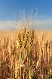 Les épillets du blé d'or sur le champ au coucher du soleil s'allument Paysage rural sur le coucher du soleil image libre de droits