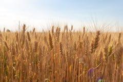 Les épillets du seigle d'or sur le champ au coucher du soleil s'allument Paysage rural sur le coucher du soleil images stock