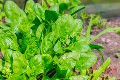Les épinards verts laissent l'élevage dans la serre chaude avec les waterdrops 2 Images libres de droits
