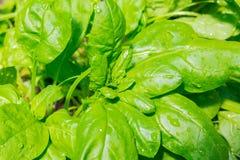 Les épinards verts laissent l'élevage dans la serre chaude avec les waterdrops 2 Photographie stock libre de droits