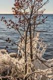Les érables rouges ont décoré en glace photos stock