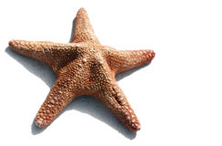 Les étoiles de mer ont isolé image stock