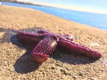 Les étoiles de mer se sont levées Photographie stock