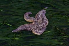 Les étoiles de mer sur des algues Photographie stock