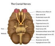 Les 12 nerfs crâniens Images stock