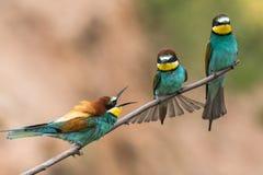 les Abeille-mangeurs, apiaster de Merops, s'assied sur une branche Photos stock