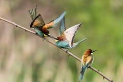 les Abeille-mangeurs, apiaster de Merops, s'assied sur une branche Image libre de droits