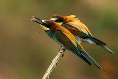 les Abeille-mangeurs, apiaster de Merops, s'assied sur une branche Image stock