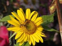 Les abeilles aiment des guêpes forageant en tournesols d'amour Image stock