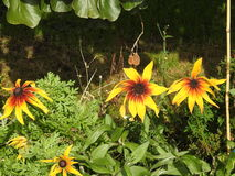 Les abeilles aiment des guêpes forageant en tournesols d'amour photos stock