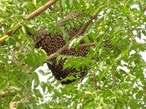 Les abeilles construisant la ruche sur l'arbre images stock