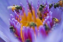 Les abeilles dans le lotus violet photographie stock