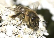 Portrait de l'abeille de miel Image stock