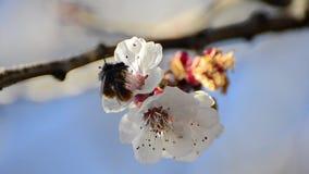 Les abeilles de miel rassemblent le nectar de fleur banque de vidéos