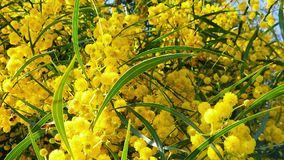 Les abeilles de ressort sur l'acacia d'or fleurit le mouvement 04 lent clips vidéos