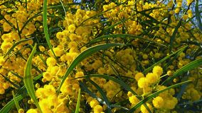 Les abeilles de ressort sur l'acacia d'or fleurit le mouvement 07 lent banque de vidéos