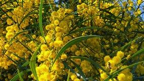 Les abeilles de ressort sur l'acacia d'or fleurit le mouvement 05 lent banque de vidéos