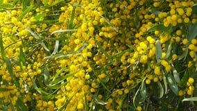 Les abeilles de ressort sur l'acacia d'or fleurit le mouvement 01 lent banque de vidéos