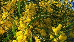 Les abeilles de ressort sur l'acacia d'or fleurit le mouvement 06 lent banque de vidéos