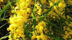 Les abeilles de ressort sur l'acacia d'or fleurit le mouvement 02 lent clips vidéos