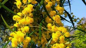 Les abeilles de ressort sur l'acacia d'or fleurit le mouvement 09 lent banque de vidéos