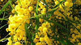 Les abeilles de ressort sur l'acacia d'or fleurit le mouvement 03 lent clips vidéos