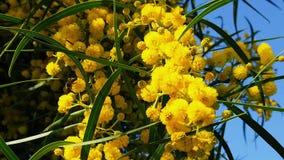 Les abeilles de ressort sur l'acacia d'or fleurit le mouvement 16 lent banque de vidéos