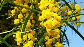 Les abeilles de ressort sur l'acacia d'or fleurit le mouvement 12 lent banque de vidéos