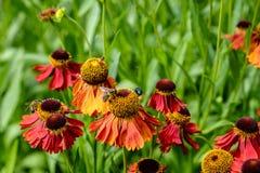 Les abeilles et la bouteille verte volent sur des fleurs de helenium Image libre de droits