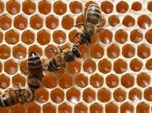 Les abeilles fonctionnent dans la ruche. Images libres de droits