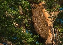 Les abeilles grouillent sur des branches d'arbre photos stock