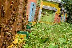 Les abeilles introduisent le pollen dans la ruche photo libre de droits