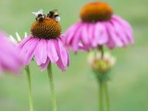 Les abeilles jumelles Image libre de droits