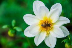 Les abeilles mangent du nectar des fleurs blanches photo stock
