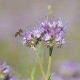 Les abeilles pollinisent des fleurs de phacelia Photo libre de droits
